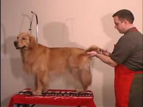 Trimming The Feet Grooming Golden Retriever The Winning Way