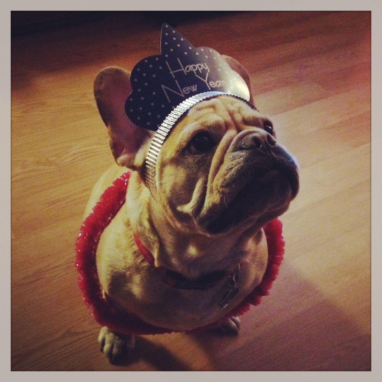 Frenchie New Year Frenchie French Bulldog Brindle