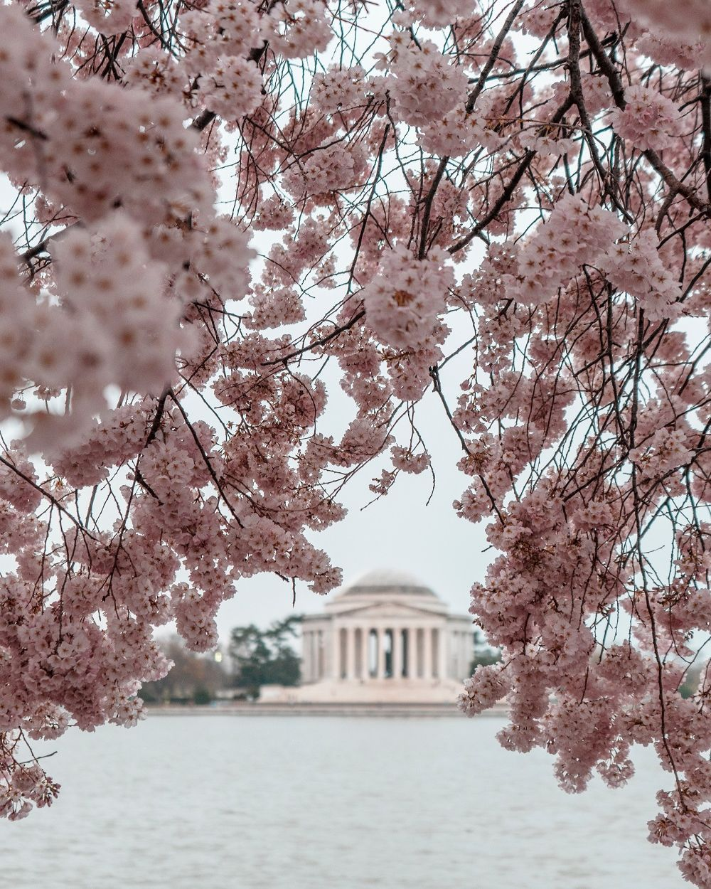 Cherry Blossom Package Washington Dc Ultimate Travel Cherry Blossom Pictures