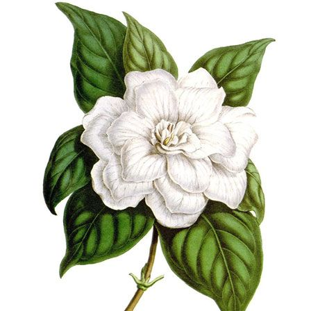 Top 25 Most Beautiful Jasmine Flowers Botanical Illustration Jasmine Flower Tattoos Jasmine Tattoo