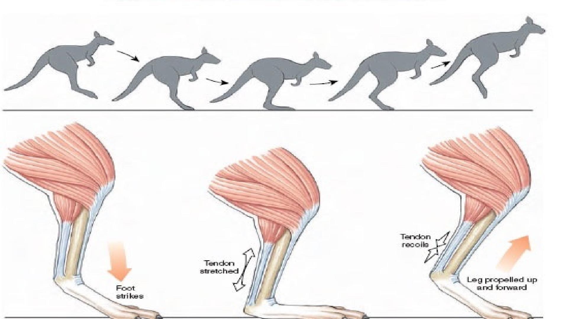 kangaroo_muscle | anatomy(animal) | Pinterest | Kangaroos, Animal ...