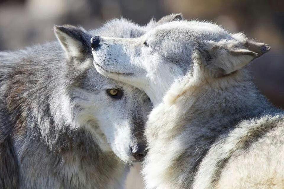 целом, волки целуются картинка что