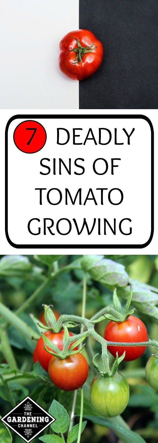 7 Deadly Sins of Tomato-Growing & How to Avoid Them The 7 Deadly Sins of Tomato-Growing & How to Avoid Them - Gardening ChannelThe 7 Deadly Sins of Tomato-Growing & How to Avoid Them - Gardening Channel