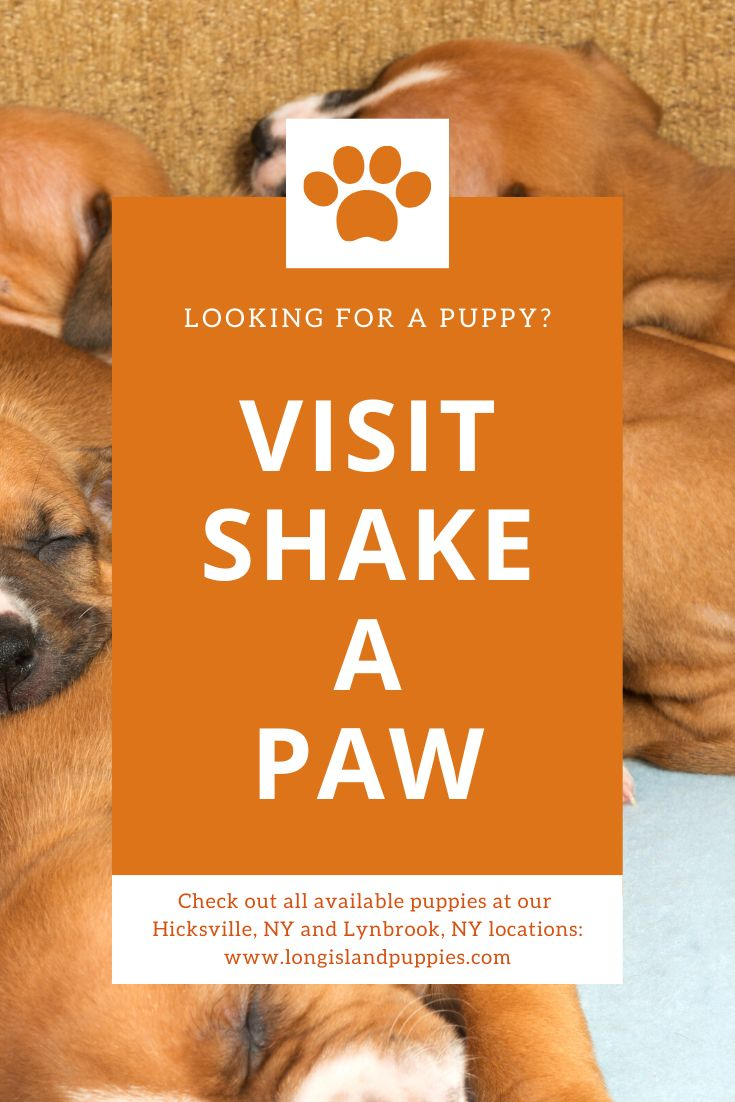 Current Availability With Images Puppies For Sale Lynbrook Puppies