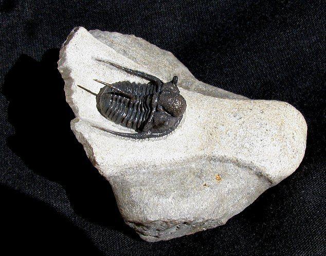 "Cyphaspis boutscharafinense. 1,15"". Dévonien Maroc. TTMCY803.  Trilobites.com presented by EXTINCTIONS Inc."