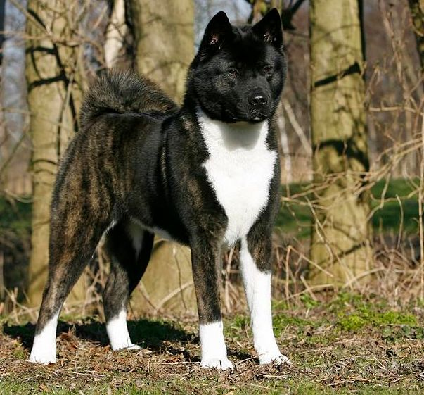 If You Are A Akita Lover Check Out This Akita Collection You May