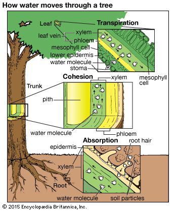 Cohesion Hypothesis Botany Britannica Com Biology Lessons Teaching Biology Biology Plants