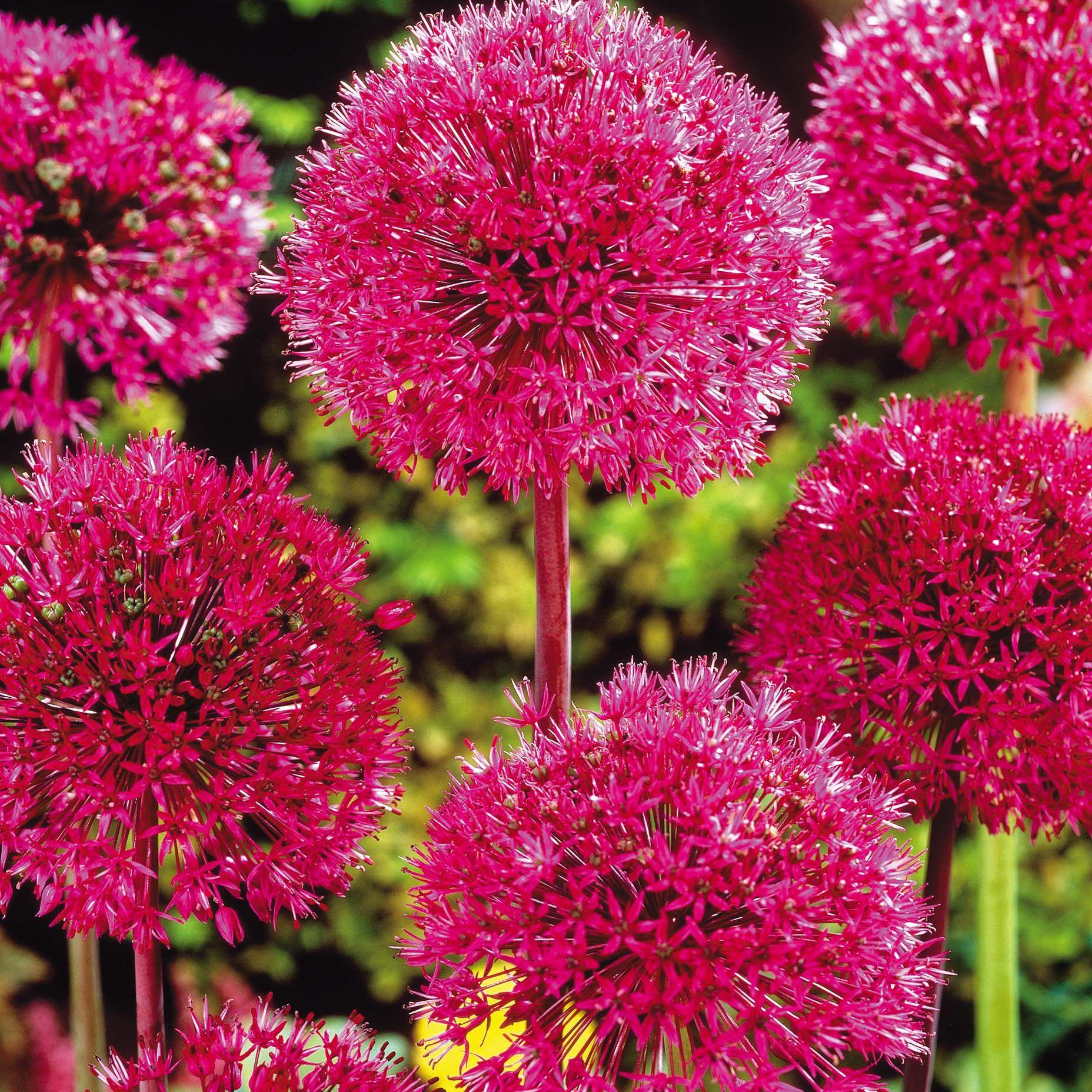 Allium stipitatum saw these at the duke gardens a week ago allium stipitatum saw these at the duke gardens a week agoautiful mightylinksfo