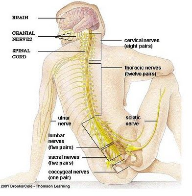 Note the eight CERVICAL nerves, the 12 THORACIC nerves, the 5 LUMBAR ...