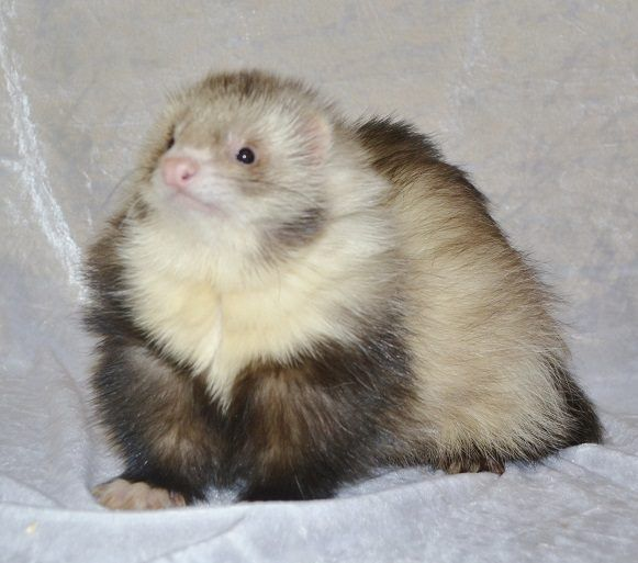 10 Remarkable Animals That Start With The Letter F Funny Ferrets