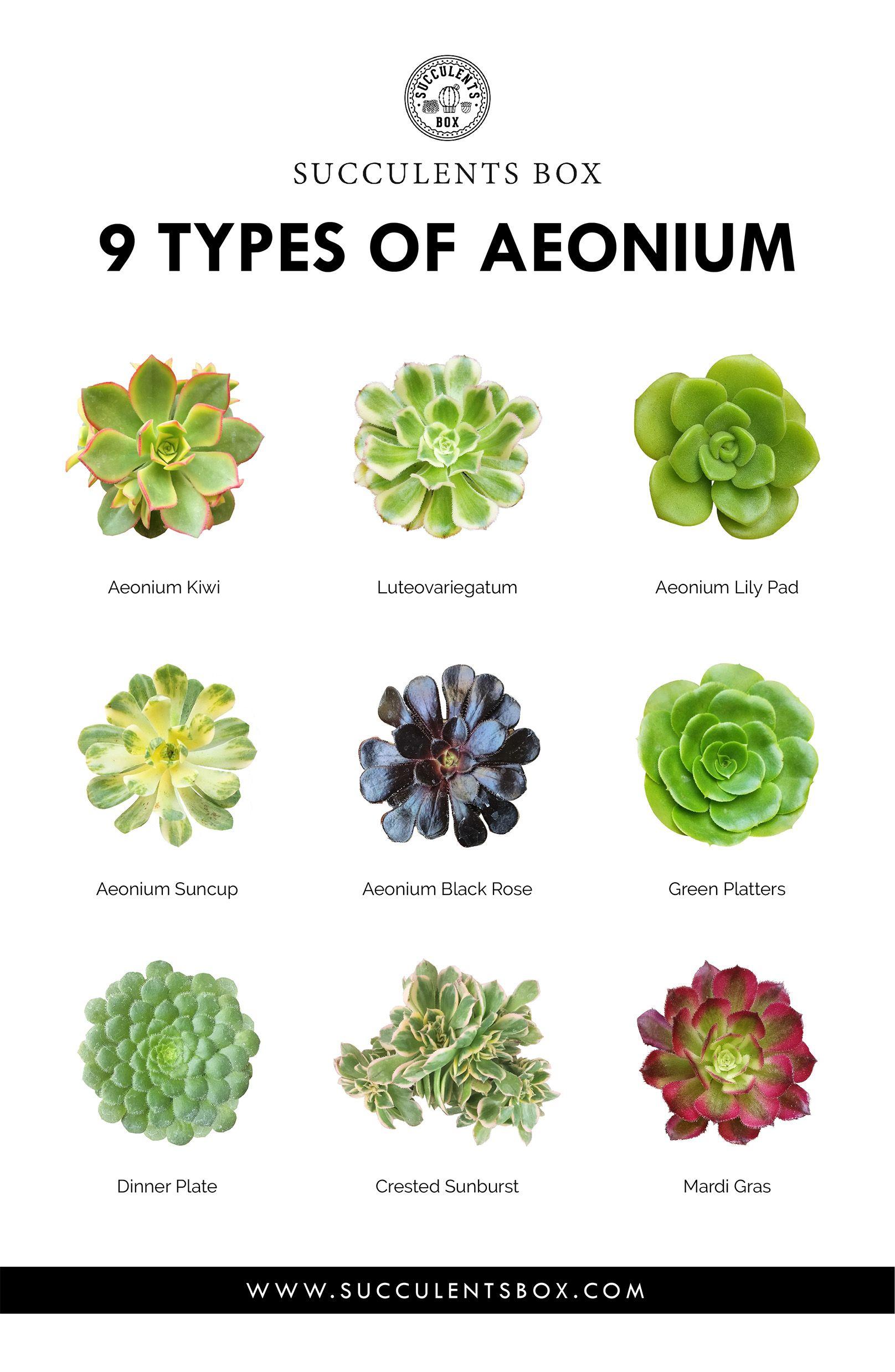 9 Types Of Aeonium With Images Plants Succulents Succulent Box