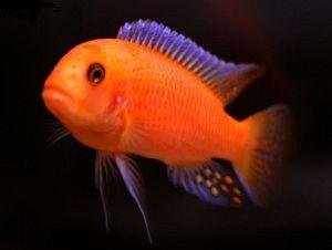 Metriaclima Estherae Red Zebra Cichlids Tropical Fish Tanks African Cichlids
