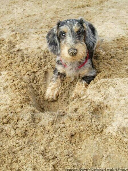 Dachshund Wirehaired Wire Haired Dachshund Dachshund Breed