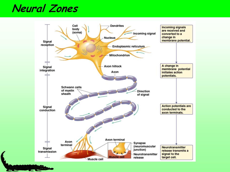 Motor Neuron Diagram