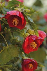 Abutilon Voodoo Plants Landscaping Plants Texas Gardening