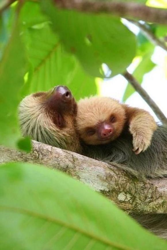 Cuddling Sloths