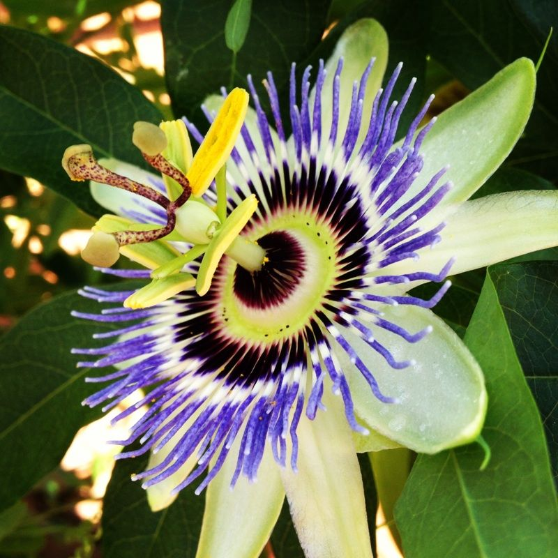 Blue Crown Passion Flower Passiflora Caerulea We Think This Is A P Caerulea A Very Beautiful Passion Fragrant Flowers Passiflora Caerulea Passion Flower