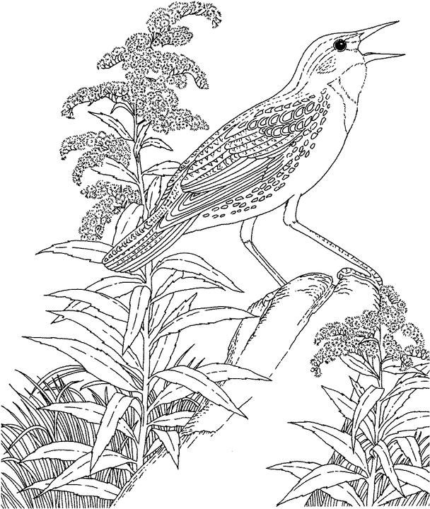 Nebraska Western Meadowlark Coloring Page Purple Kitty Bird