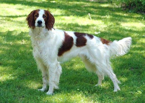 Red And White Setter Irish Setter Tiere Hund Grosse Hunderassen