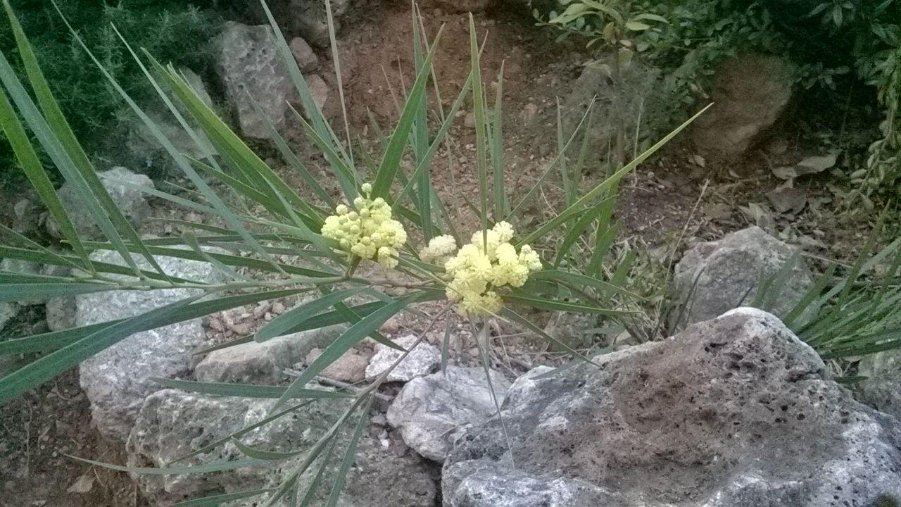 mimosa en fleurs en plein mois d'Août Saint Agay, de mamadan
