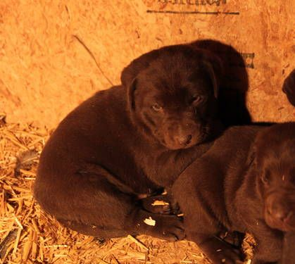Adorable AKC Chocolate Lab Puppies - 4 Weeks Old