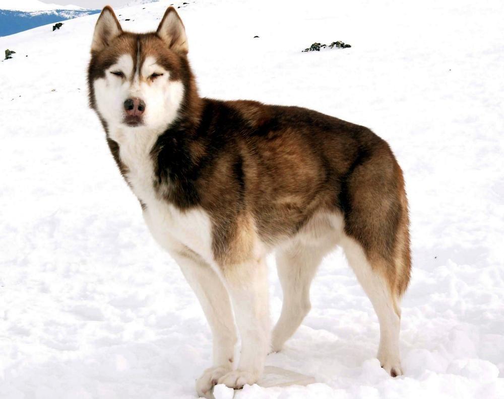 Eight Below - Dewey   Huskie love ❤   Pinterest   Siberian huskies ...   Siberian Husky Names In Movies
