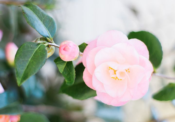 Camellia Meaning And Symbolism Ftd Com Flowers Camellia Plant Flower Quotes