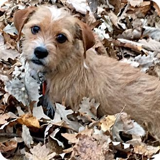 Terrier Unknown Type Small Mix Dog For Adoption In Minneapolis Minnesota Milo Terrier Terrier Dog Adoption Pets