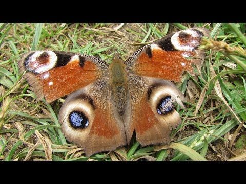 Wholesome Day - The Peacock Butterfly