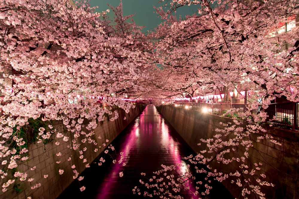 7 Tips For Seeing Cherry Blossoms In Japan Cherry Blossom Japan Cherry Blossom Japan