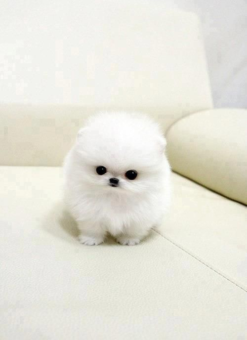 White Cute Fluffy Puppy Would Be Practically Invisible If Not For Those Eyes Of Coal And That Black On Nose
