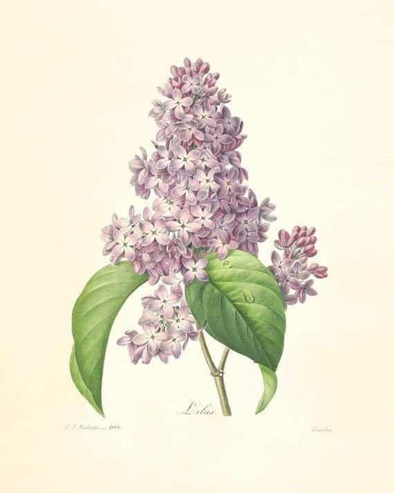 Lilac Vintage flower art print antique wall art Flower ...