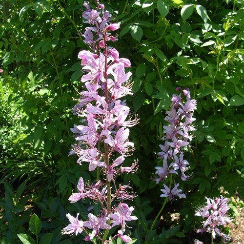 Purple Gas Plant (Dictamnus albus 'Purpureus') Grown since ...