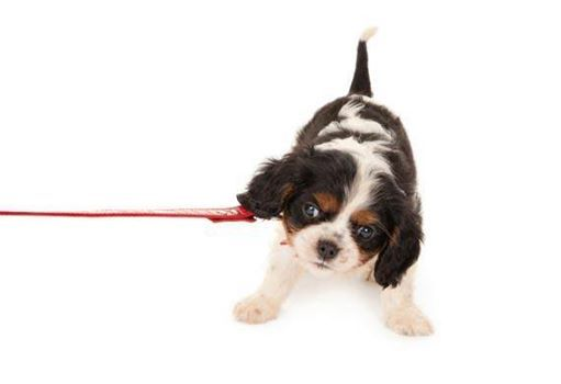 Are You Trying To Leash Train Your Pup Puppy Training Tip Hold