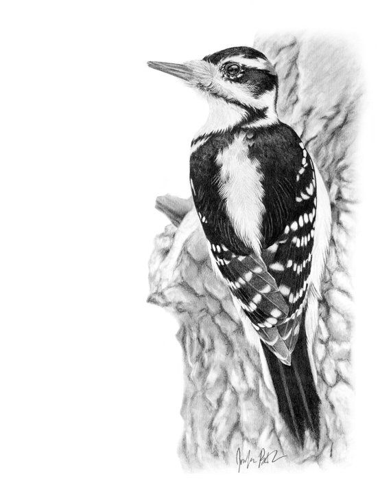 hairy woodpecker graphite pencil 8x10 wildlife by
