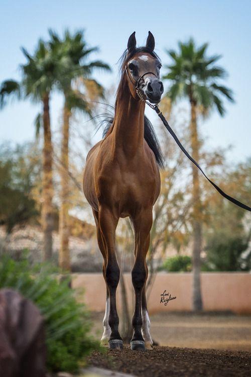 RD Versaria, dark bay Arabian filly (Aria Impresario x La Bella Versace FR)