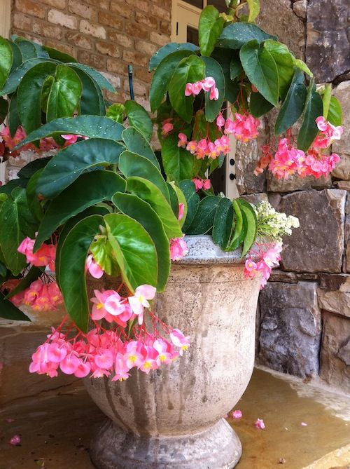 I Think Someone Should Make A Pair Of Dangly Earrings That Look Like This Pink Cane Begonia Chandeliers For The Ears This Beg Plants Planting Flowers Begonia