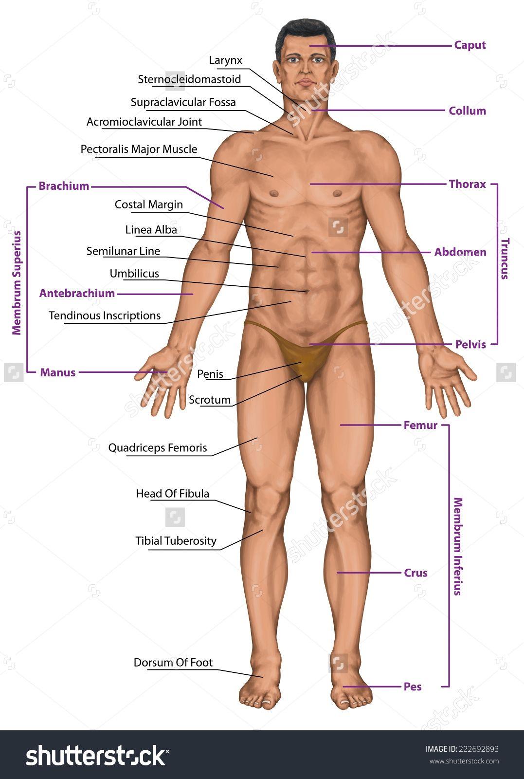 Male Human Anatomy Diagram Human Anatomy Organs Human Body
