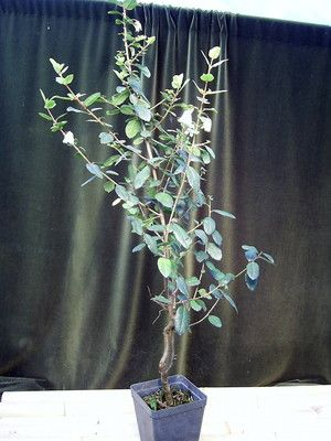 Crinodendron patagua Maiglöckchenbaum