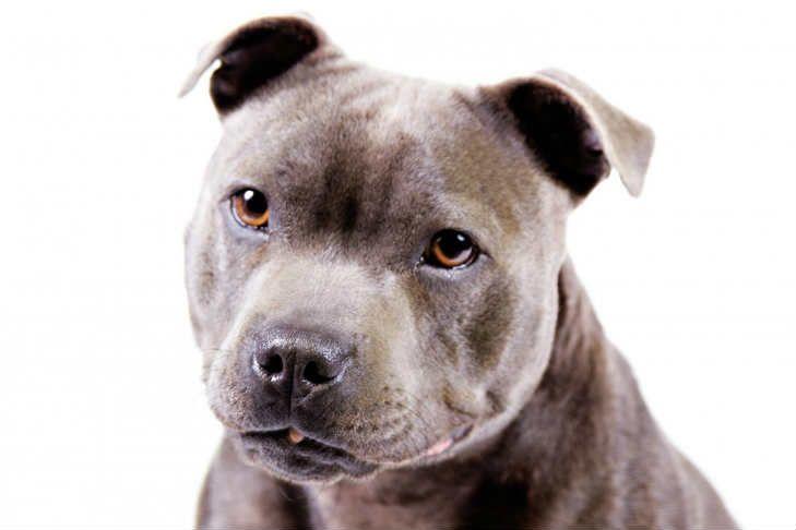 Staffordshire Bull Terrier Dog Breed Information Terrier