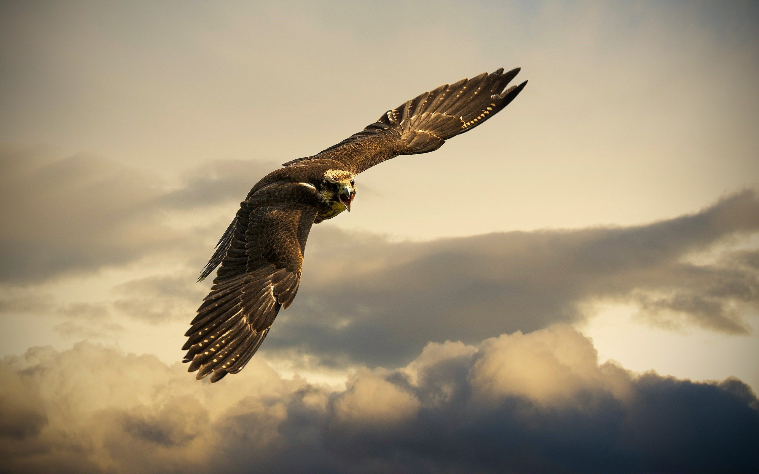 Bird Falcon Flying Cloudy Sky HD Wallpaper - ZoomWalls ...