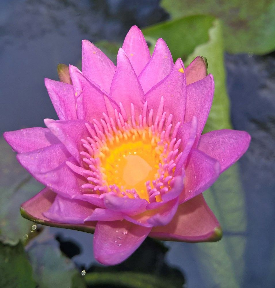 free jigsaw puzzles online water lily game jigsawpuzzle
