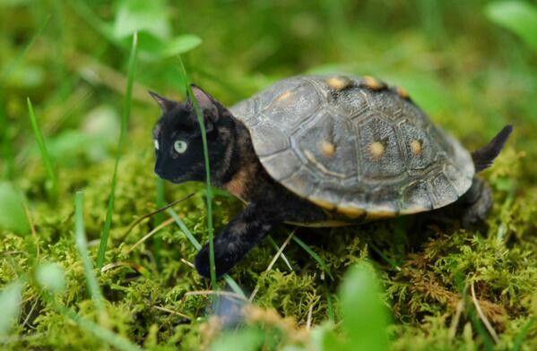 Kitten-turtle