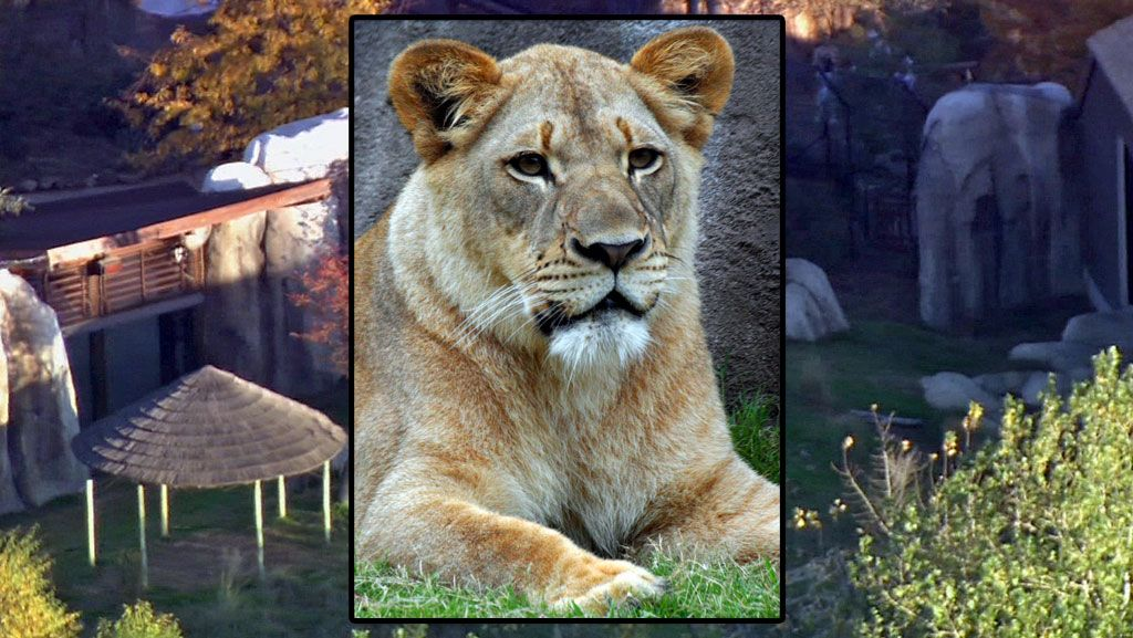 Dallas Zoo can't explain why lion turned on lion wfaa