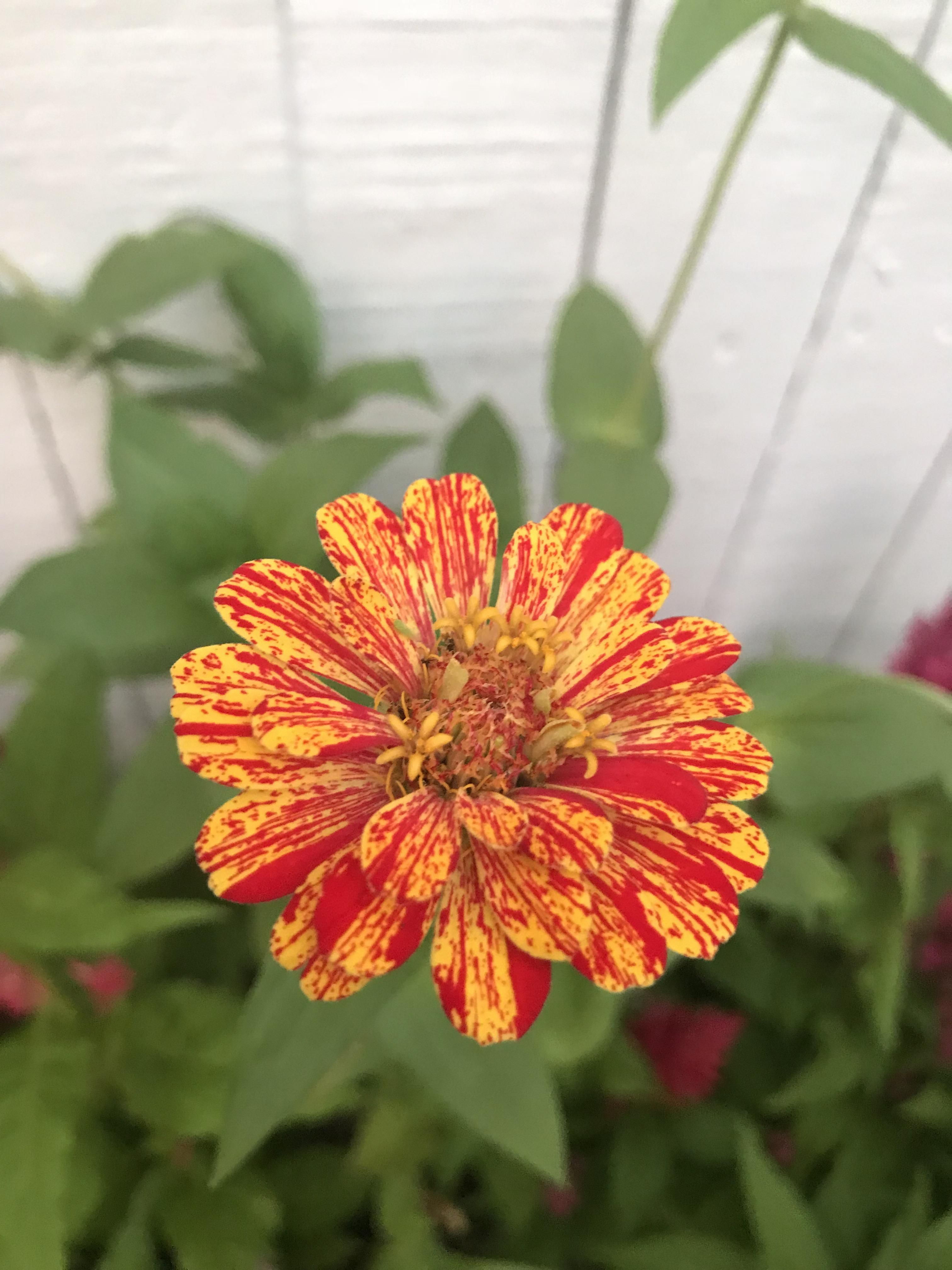 I Planted Zinnia Seed And Got This Amazing Starburst Flower