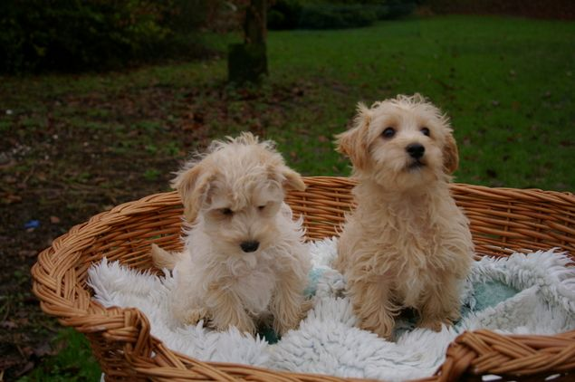 Westiepoo Pups For Sale For Sale In Cheshire North West Dogs