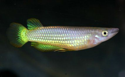 Golden Wonder Killifish As Killifish Go This Species Is A Non Annual Hardy And Easy To Keep But They Grow To Over 7 5cm 3 In No Time A Species Fish Pet Fish