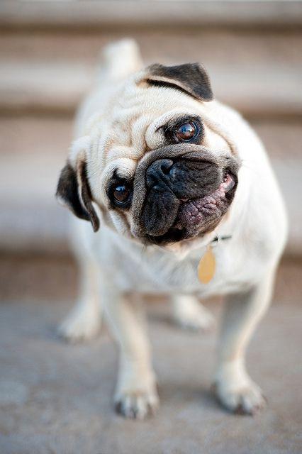 Tan Black Pug Dog Tilting Head By Alex Sotelo Pugs Pug Love