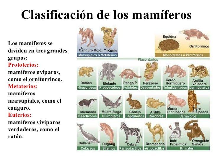 mamferos-20-728 Naturales Pinterest Sinoptico, Ornitorrinco y - best of tabla periodica cuantos grupos tiene