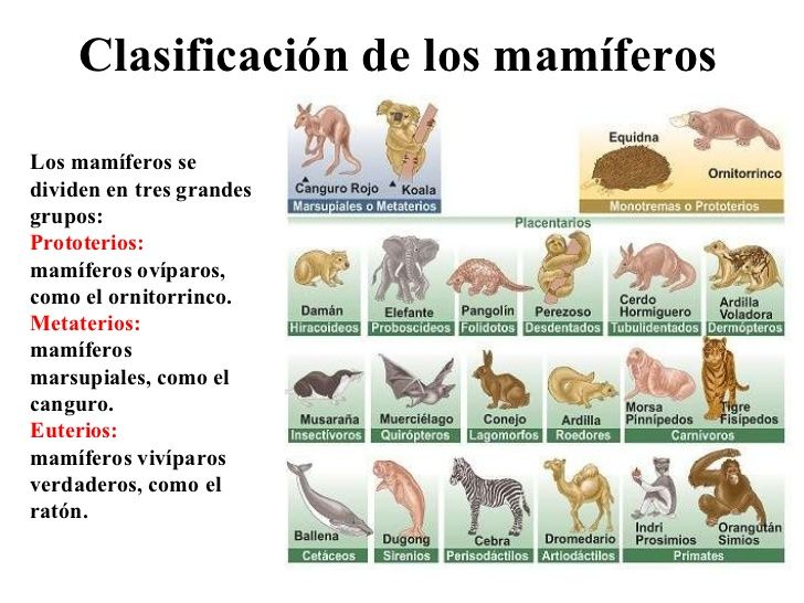 mamferos-20-728 Naturales Pinterest Sinoptico, Ornitorrinco y - fresh tabla periodica elementos de un mismo grupo